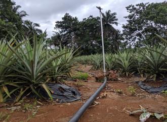 Piantagioni di ananas per combattere l'emigrazione illegale