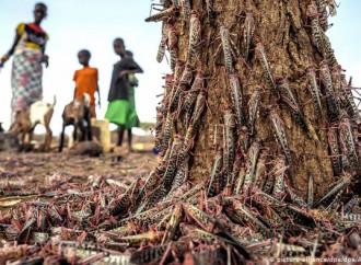 Nuove generazioni di locuste stanno devastando l'Africa orientale