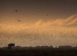 L'appello dell'Onu per un intervento internazionale contro le locuste