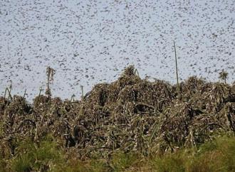Nuovi sciami di locuste devastano l'Africa orientale