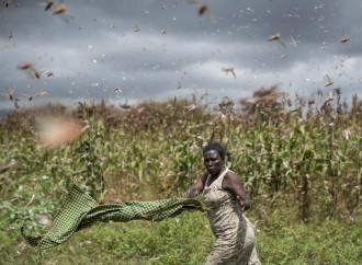 Le locuste devastano l'Africa, la Cina le aspetta con le oche