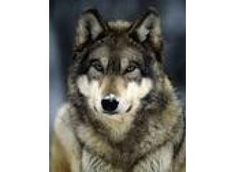 Tornano i lupi e cacciano l'uomo