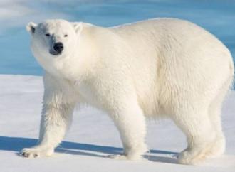 Orsi polari? Non si stanno estinguendo